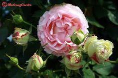Risultati immagini per rose inglesi