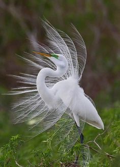 Planet Earth ‏ issues issues Wilke Davis Earth Windy Day - beautiful birds these herons! Pretty Birds, Love Birds, Beautiful Birds, Animals Beautiful, Cute Animals, Exotic Birds, Colorful Birds, Windy Day, Tier Fotos