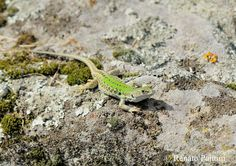 Green Lizard. - Taken in Fiesole, (Florence, Tuscany, Italy). (April 2018)