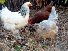 How to deep clean your chicken coop to keep your flock healthy & happy (via HipChickDigs)