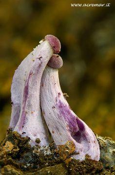 mushroom - Laccaria ametistina (527×800)