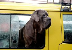 Mastino Napoletano - threatens Diseases | All About Dogs
