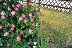 Pestovanie ruží (2. časť) 6 Plants, Plant, Planets