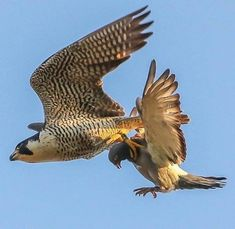 Peregrine Falcon with a catch : natureismetal Badass Pictures, Eagle Pictures, Raptor Bird Of Prey, Birds Of Prey, Most Beautiful Horses, Beautiful Birds, Exotic Birds, Colorful Birds, Nature Animals