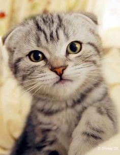 Tags: Scottish Fold cats - #scottishfoldcatbreeds - More Scottish Fold Cat Breeds at Catsincare.com!