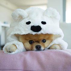 very cute puppies jiffpom (jiffpom) Cute Baby Dogs, Very Cute Dogs, Baby Animals Super Cute, Super Cute Puppies, Cute Little Puppies, Cute Little Animals, Cute Dogs And Puppies, Cute Funny Animals, Cute Cats