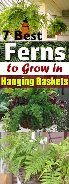 7 Best Ferns To Grow In Hanging Baskets Learn about the best hanging ferns! As ferns growing in hanging baskets can improve the curb appeal of your home, you must try one of these here on the list! Hanging Ferns, Hanging Plants Outdoor, Plants For Hanging Baskets, Patio Plants, Cool Plants, Garden Planters, Hanging Gardens, Plants Indoor, Potted Plants