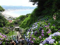 成就院の参道。紫陽花が見事なことでも有名です。