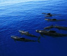 Azores, Portugal is one of the Top 10 places in the world for whale watching according to aluxurytravelblog.com - April 2015