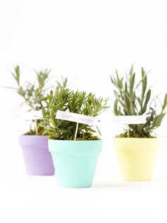 """Rosemary, english lavender or any herb plant in small, painted terracotta pots (3-4"""")"""