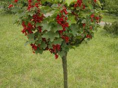 Про необычное формирование смородины деревом