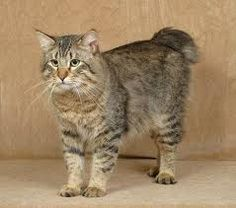 Pixiebob - The Pixiebob is a domestic cat visually resembling the North American Bobcat. Despite its fierce look, the Pixiebob is noted for its loving, trustworthy and tractable personality.