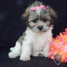 Shichon puppy - Kiki
