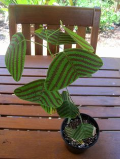 Christia Obcordata Swallow Tail Butterfly Plant