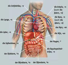 der menschliche Körper   nj-slovíčka   Pinterest   Learn german ...