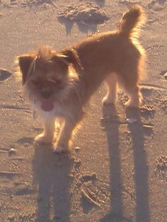 Bridgeport Animal Control support Page Liked · 1 hr ·    *LOST IN BRIDGEPORT, CT*  Name: Candy Breed: Chihuahua/Shih Tzu Missing on: 1/29/15... See More Sharon Boulanger