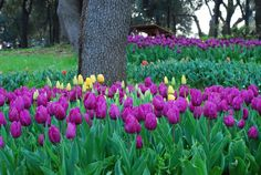 Tulips are probably my favorite flowers.