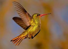 Foto beija-flor-dourado (Hylocharis chrysura) por Oscar Abener Fenalti | Wiki Aves - A Enciclopédia das Aves do Brasil