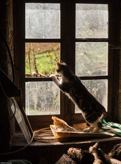 Purrfect pictures of pets: Cute images of cats taken by their owners for photography competition I Love Cats, Crazy Cats, Cute Cats, Funny Cats, Neko, Animals And Pets, Cute Animals, Cat Window, Open Window