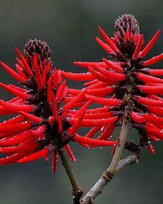 A flor da árvore de Mulungu.