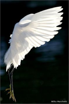 Snowy Egret by Milko Marchetti (NWF Photography Contest 2011)