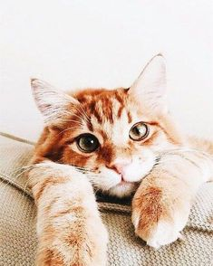It's common to talk about tabbies as if they represent a cat breed. In fact, the word tabby denotes a coat pattern. Excellent What It Means to Be a Tabby Cat Ideas. Animals And Pets, Baby Animals, Cute Animals, Cute Kittens, Cats And Kittens, Tabby Cats, Derpy Cats, Pretty Cats, Beautiful Cats
