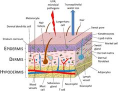 skin layers diagram labeled simple 3 way switch wiring variation 33 best 05 hair and beauty images follicles structure 28 epidermis epidermal human of the has two