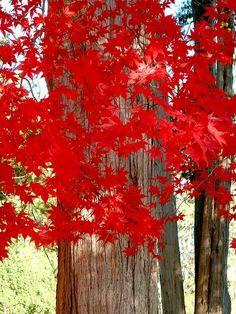 Autumn Red in Indian Summer