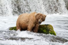 Grizzly on a fishing trip