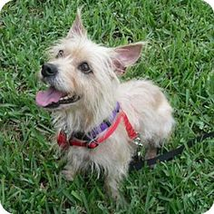 Pictures of JOAN JETT IN FL a Cairn Terrier for adoption in Ponte Vedra Beach, FL who needs a loving home.