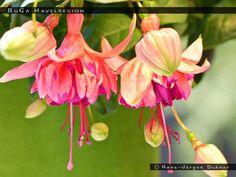 Fuchsia BuGa Havelregion - double upright/trailer -- FuchsiaFinder is a searchable fuchsia flower database. The database has more than 15.000 cultivars .