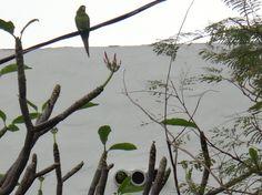 2 Green Parrots nesting, South Beach, Miami, Florida