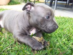 Purebred Blue English Staffordshire Terrier Puppy.- how cute!!!!!!!!!!!!