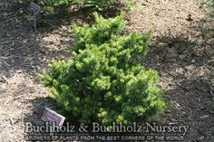 Pinus parviflora 'Hagoromo' A dwarf form of Japanese White Pine.A dense, slow-growing evergreen conifer with tiny blue-green needles. At maturity it will be much more wide than tall. Hagoromo is Japa