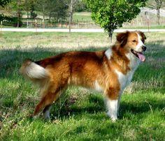 Old-Time Scotch Collie (looks like my dog)