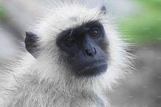 Indian Monkey by Kailash Kumar on Indian Monkey, Indian Animals, States Of India, Animal 2, Westerns