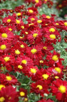 Chrysanthemum 'Bonnie Red'