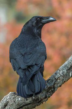 Raven Corvus corax by Fernando Sanchez de Castro on Corvo Tattoo, Choucas Des Tours, Crow Pictures, Crow Photos, Rabe Tattoo, Fernando Sanchez, Animals And Pets, Cute Animals, Raven Bird