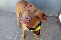 PISTACHIO - A1097042 - - Manhattan  Please Share:TO BE DESTROYED 11/26/16: ****PUBLIC ADOPTABLE**** A volunteer writes: I'm convinced that Pistachio is a born model….or was a model in a previous life. I point my camera at him and he looks straight at me, tilts his head in a perfect pose and holds it. I mean, seriously…… I could almost hear him saying, 'I'm ready for my close-up, Mr. De Mille'. A hundred photos later I have a hard ti