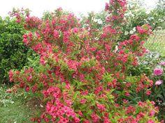 Ma Planète Jardin: un weigelia 'Bristol Ruby' pour sa couleur rouge