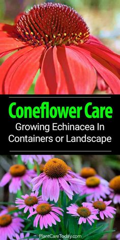 Flower Garden Coneflower Care: Growing Echinacea As A Landscape Or Container Plant - Coneflowers (Echinacea), daisy-like flowers, a native American plant, blooms throughout summer. Growing tips for the landscape and containers [LEARN MORE] Container Flowers, Container Plants, Container Gardening, Gardening Tips, Organic Gardening, Vegetable Gardening, Organic Plants, Garden Care, Cut Garden