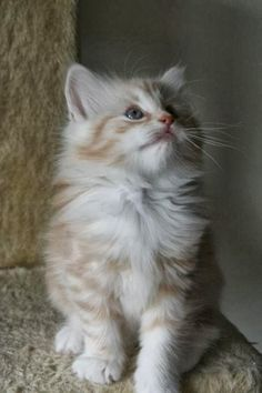 See more How to Groom a Norwegian Forest Cat?