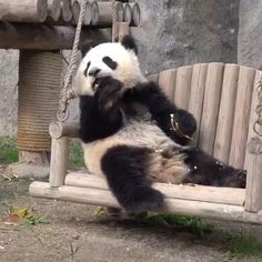 Giant Panda Cam at the Gengda Panda Center in China shows live video of pandas eating and socializing. Cute Panda Baby, Baby Panda Bears, Baby Animals Super Cute, Panda Love, Cute Little Animals, Baby Pandas, Cute Funny Animals, Panda Babies, Panda Cam