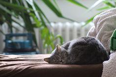 Macska, Brit Rövidszőrű Macska, Alvó Macska, Belföldi