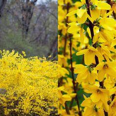 В Европу кустарник форзиция попал благодаря садовнику Кенсингтонского дворца ботанику Уильяму Форсайту, который привёз его из Китая. Это растение было названо в его честь – Форсайтия (лат. Forsythia),…