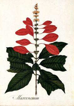 Macrocnemum. Proyecto de digitalización de los dibujos de la Real Expedición Botánica del Nuevo Reino de Granada (1783-1816), dirigida por José Celestino Mutis: www.rjb.csic.es/icones/mutis. Real Jardín Botánico-CSIC.