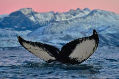 A beautiful view on humpback whale's tail in a romantic scenery of mountains, snow and a colourful pink sky.