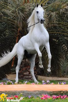 White, grey, Arabian horse rearing. Palm tress and flowers surronding - by Khaled AL-Ateeqi