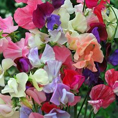 beautiful Plants for Cut Flowers Sweet Pea Super Scent Packet of 100 seeds Check more at http://www.gardenorchid.co.uk/product/plants-for-cut-flowers-sweet-pea-super-scent-packet-of-100-seeds/