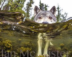 WATCH: British Columbia's unusual sea wolves have caught the attention of National Geographic, while local conservation groups hope to protect the animal. Linda Aylesworth reports.